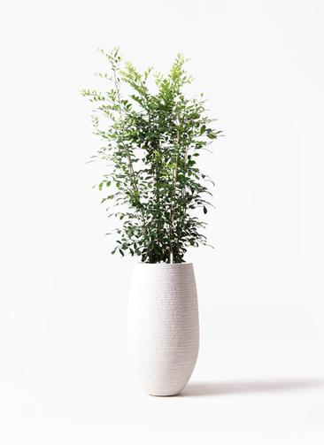 観葉植物 シルクジャスミン(げっきつ) 8号 フォンティーヌトール 白 付き