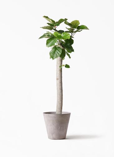 観葉植物 フィカス ウンベラータ 10号 朴 アートストーン ラウンド グレー 付き