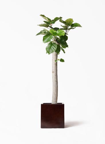 観葉植物 フィカス ウンベラータ 10号 朴 MOKU キューブ 付き