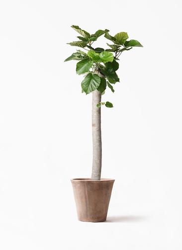 観葉植物 フィカス ウンベラータ 10号 朴 ルーガ アンティコ ソリッド 付き