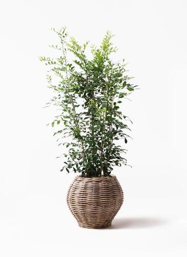 観葉植物 シルクジャスミン(げっきつ) 8号 グレイラタン 付き