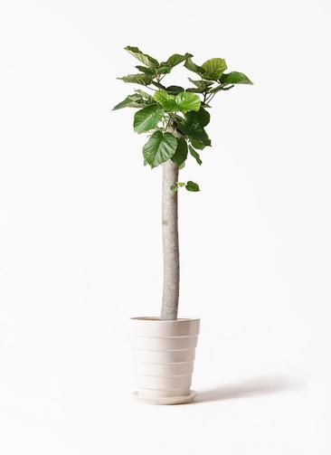 観葉植物 フィカス ウンベラータ 10号 朴 サバトリア 白 付き