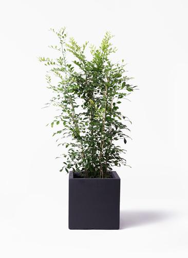 観葉植物 シルクジャスミン(げっきつ) 8号 ベータ キューブプランター 黒 付き