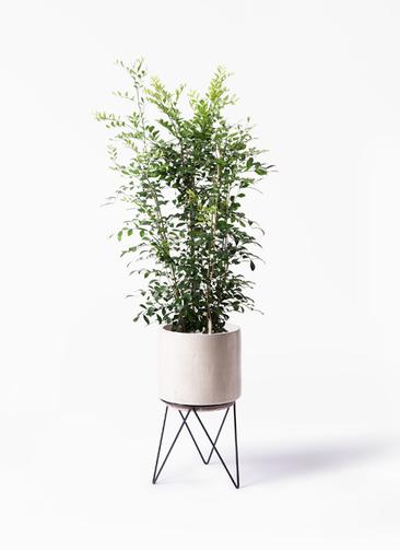 観葉植物 シルクジャスミン(げっきつ) 8号 ビトロ エンデカ 鉢カバースタンド付 クリーム 付き