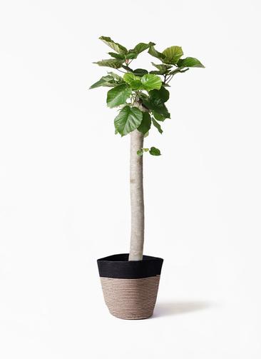 観葉植物 フィカス ウンベラータ 10号 朴 リブバスケットNatural and Black 付き