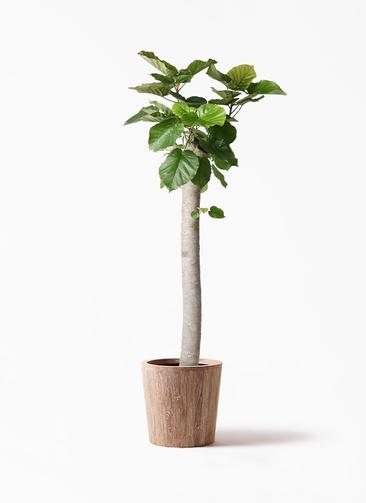 観葉植物 フィカス ウンベラータ 10号 朴 ウッドプランター 付き