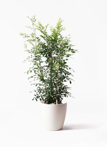 観葉植物 シルクジャスミン(げっきつ) 8号 ラスターポット 付き