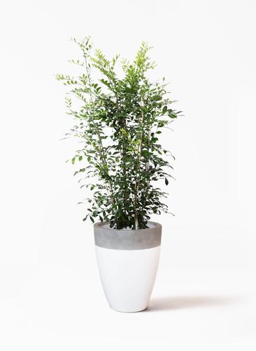 観葉植物 シルクジャスミン(げっきつ) 8号 ファイバーストーンカプリ 白 付き