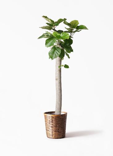 観葉植物 フィカス ウンベラータ 10号 朴 竹バスケット 付き