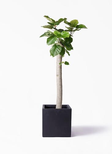 観葉植物 フィカス ウンベラータ 10号 朴 ベータ キューブプランター 黒 付き