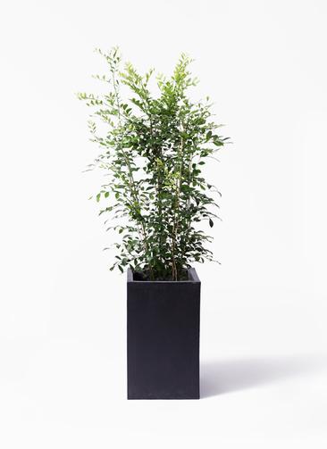 観葉植物 シルクジャスミン(げっきつ) 8号 セドナロング 墨 付き