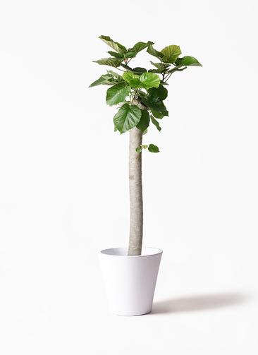 観葉植物 フィカス ウンベラータ 10号 朴 フォリオソリッド 白 付き