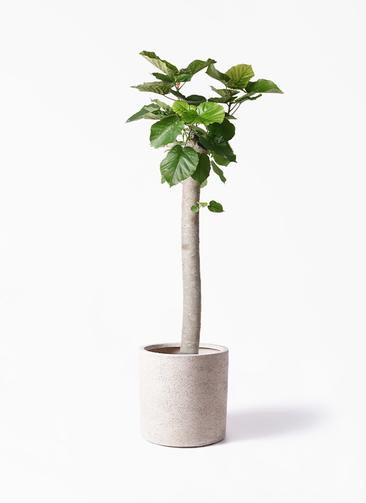観葉植物 フィカス ウンベラータ 10号 朴 サンディ シリンダー 白 付き