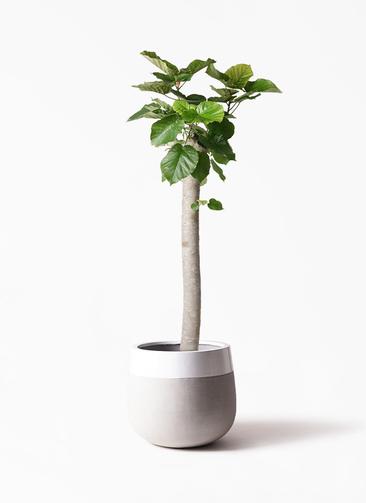 観葉植物 フィカス ウンベラータ 10号 朴 ファイバーストーンタウルス ミドル 白 付き