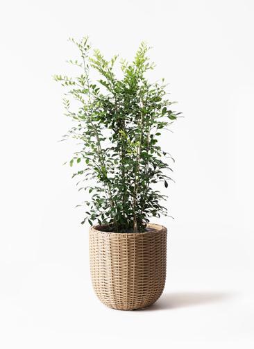 観葉植物 シルクジャスミン(げっきつ) 8号 ウィッカーポットエッグ ベージュ 付き