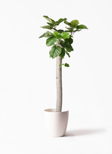 観葉植物 フィカス ウンベラータ 10号 朴 ラスターポット 付き