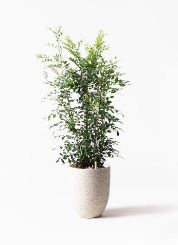 観葉植物 シルクジャスミン(げっきつ) 8号 ビアスアルトエッグ 白 付き
