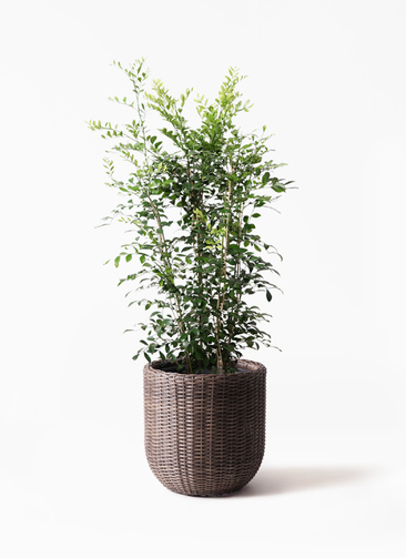 観葉植物 シルクジャスミン(げっきつ) 8号 ウィッカーポットエッグ 茶 付き