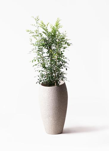 観葉植物 シルクジャスミン(げっきつ) 8号 エコストーントールタイプ Light Gray 付き