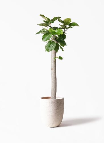 観葉植物 フィカス ウンベラータ 10号 朴 ビアスアルトエッグ 白 付き