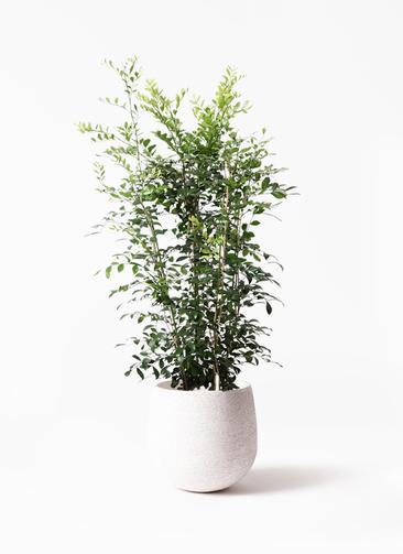 観葉植物 シルクジャスミン(げっきつ) 8号 エコストーンwhite 付き