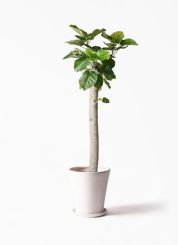 観葉植物 フィカス ウンベラータ 10号 朴 サブリナ 白 付き
