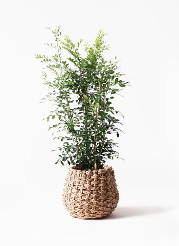 観葉植物 シルクジャスミン(げっきつ) 8号 ラッシュバスケット Natural 付き