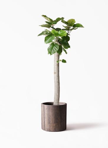 観葉植物 フィカス ウンベラータ 10号 朴 アルファシリンダープランター 付き