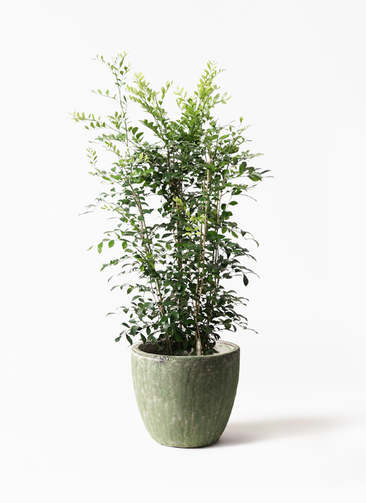 観葉植物 シルクジャスミン(げっきつ) 8号 アビスソニアミドル 緑 付き
