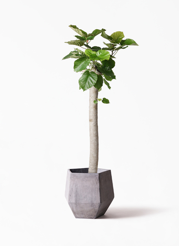 観葉植物 フィカス ウンベラータ 10号 朴 ファイバークレイGray 付き