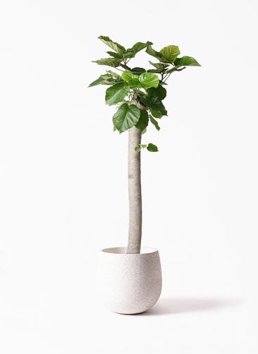 観葉植物 フィカス ウンベラータ 10号 朴 エコストーンwhite 付き