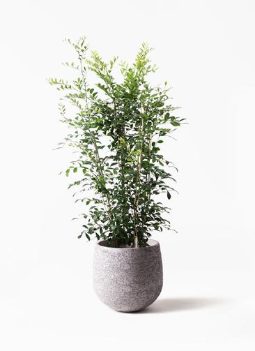 観葉植物 シルクジャスミン(げっきつ) 8号 エコストーンGray 付き