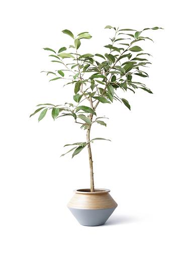観葉植物 アマゾンオリーブ (ムラサキフトモモ) 8号 アルマジャー グレー 付き