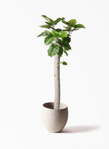 観葉植物 フィカス ウンベラータ 10号 朴 エコストーンLight Gray 付き