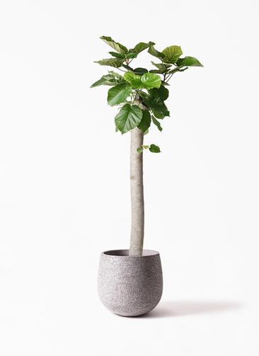 観葉植物 フィカス ウンベラータ 10号 朴 エコストーンGray 付き