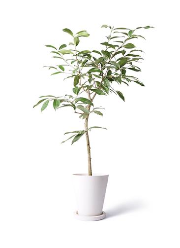 観葉植物 アマゾンオリーブ (ムラサキフトモモ) 8号 ビトロ エンデガ ターコイズ ウッドポットスタンド付き