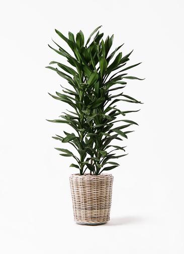 観葉植物 ドラセナ グローカル 10号 モンデリック ラタン 付き