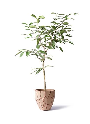 観葉植物 アマゾンオリーブ (ムラサキフトモモ) 8号 ウィスク 付き