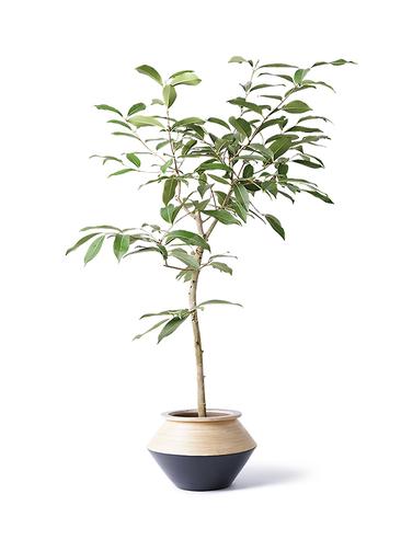 観葉植物 アマゾンオリーブ (ムラサキフトモモ) 8号 アルマジャー 黒 付き