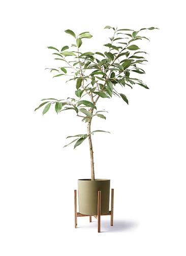 観葉植物 アマゾンオリーブ (ムラサキフトモモ) 8号 ホルスト シリンダー オリーブ ウッドポットスタンド付き