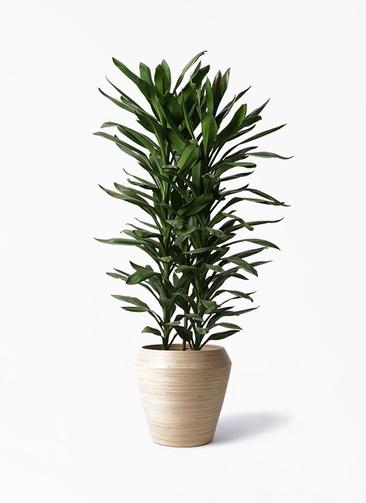 観葉植物 ドラセナ グローカル 10号 アルマ ミドル 付き