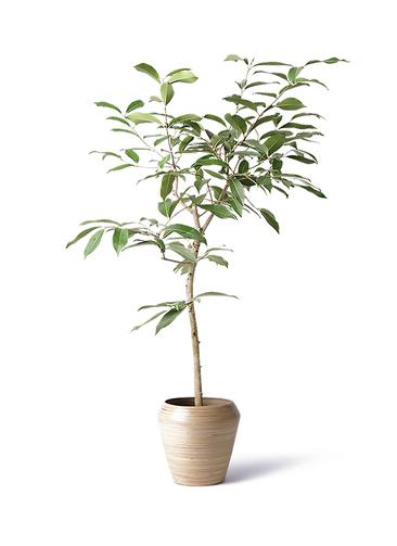 観葉植物 アマゾンオリーブ (ムラサキフトモモ) 8号 アルマ ミドル 付き