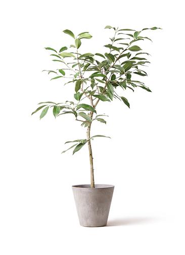 観葉植物 アマゾンオリーブ (ムラサキフトモモ) 8号 アートストーン ラウンド グレー 付き