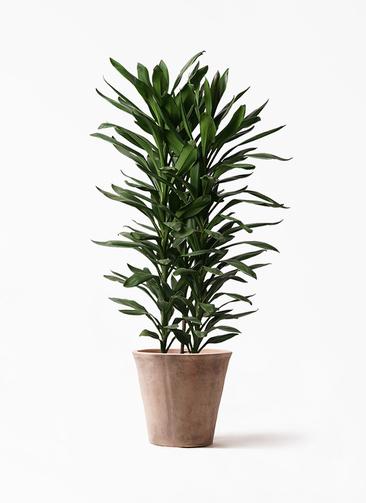観葉植物 ドラセナ グローカル 10号 ルーガ アンティコ ソリッド 付き
