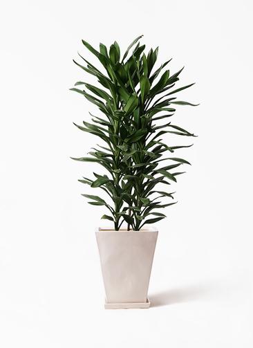観葉植物 ドラセナ グローカル 10号 スクエアハット 白 付き