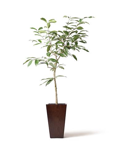 観葉植物 アマゾンオリーブ (ムラサキフトモモ) 8号 MOKU スクエア 付き