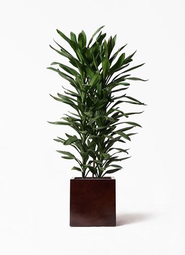 観葉植物 ドラセナ グローカル 10号 MOKU キューブ 付き