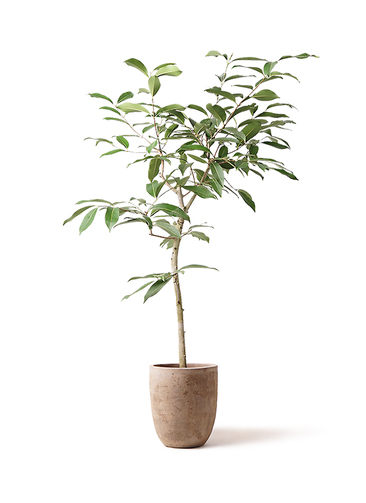 観葉植物 アマゾンオリーブ (ムラサキフトモモ) 8号 ルーガ アンティコ アルトエッグ 付き