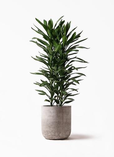 観葉植物 ドラセナ グローカル 10号 エルバ 白 付き