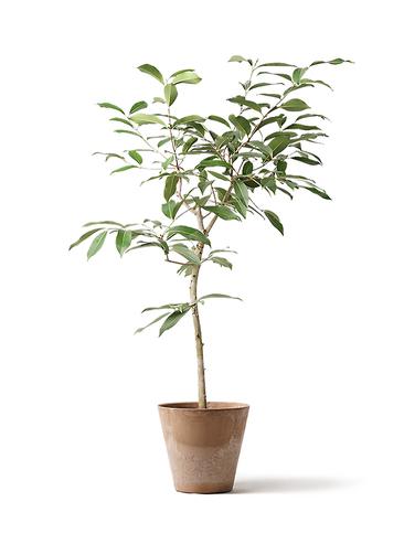 観葉植物 アマゾンオリーブ (ムラサキフトモモ) 8号 アートストーン ラウンド ベージュ 付き